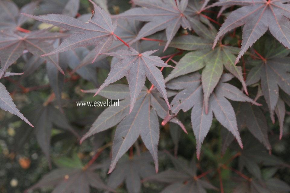 Acer palmatum 'The Bishop'