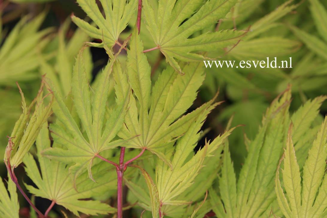 Acer palmatum 'Tiger Rose'