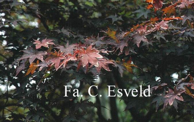 Acer palmatum 'Tsukushi-gata'