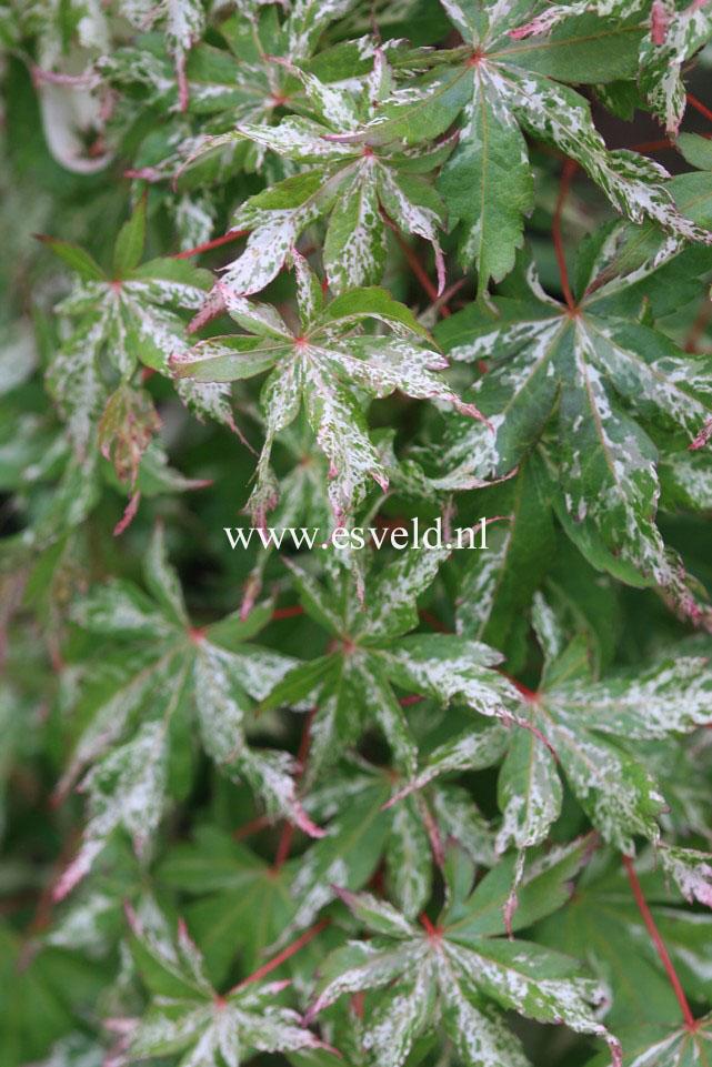 Acer palmatum 'Tsuru-no-mai'