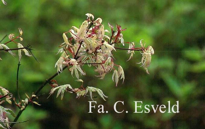 Acer palmatum 'Uki-gumo'