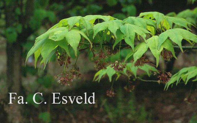Acer palmatum 'Utsu-semi'