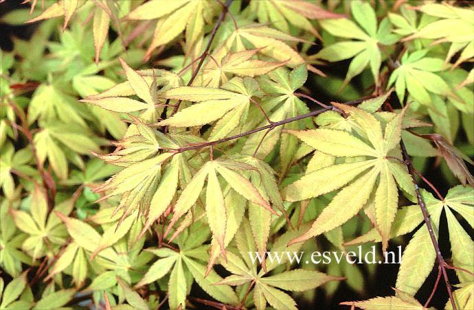 Acer palmatum 'Westonbirt Red'