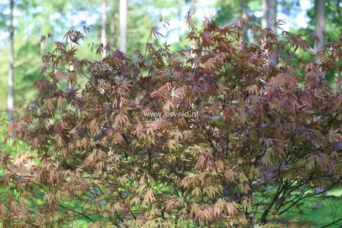 Acer palmatum 'Whitney Red'