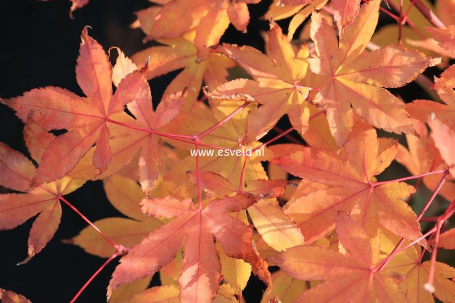 Acer palmatum 'Yama-mura'
