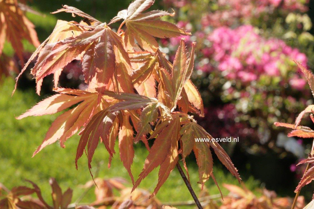 Acer palmatum 'Yamato-gire'