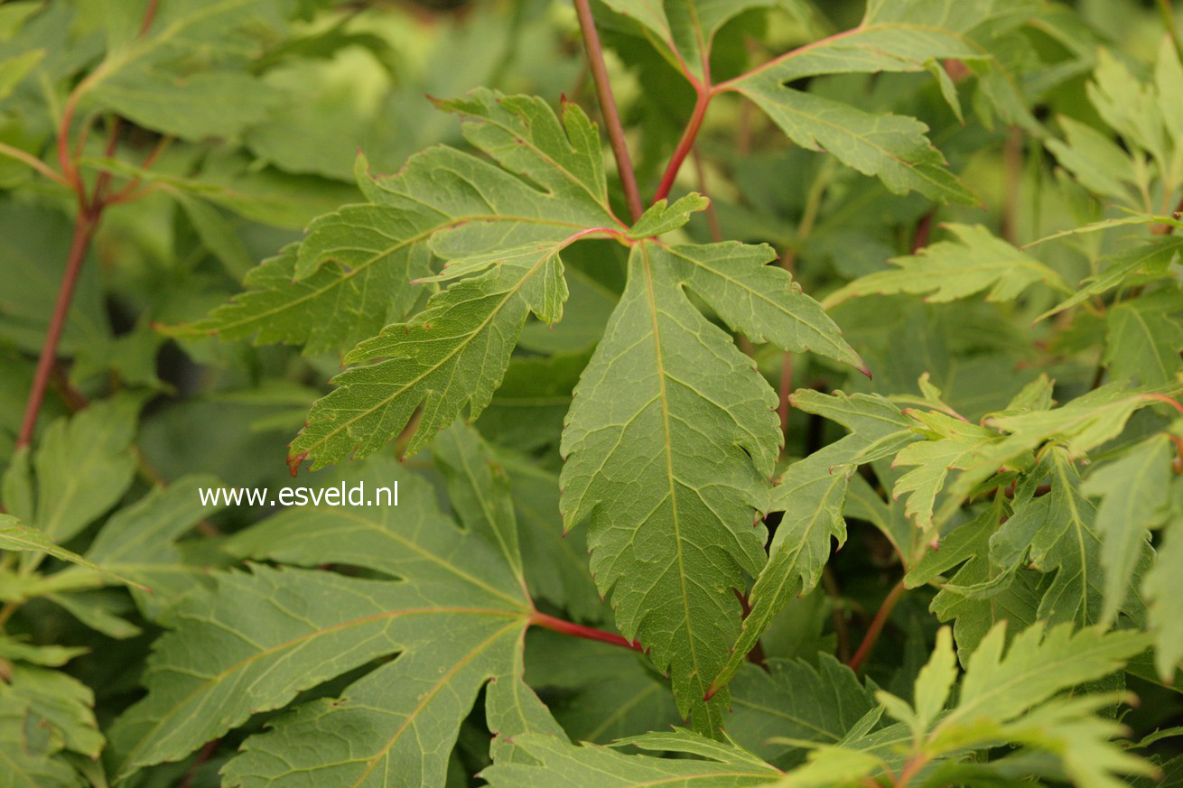Acer palmatum 'Yushide'