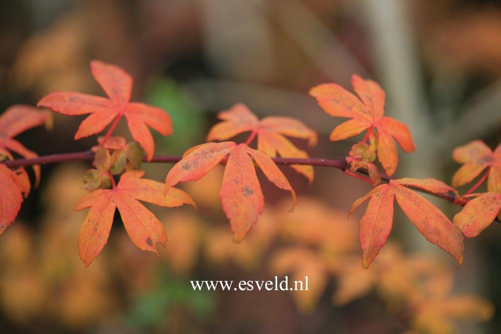 Acer pauciflorum