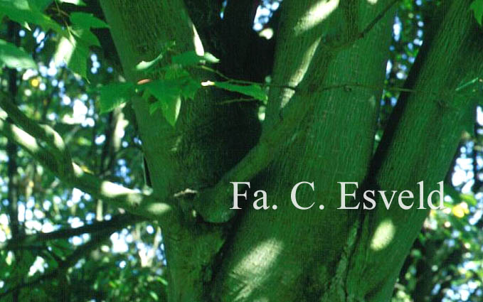 Acer pectinatum