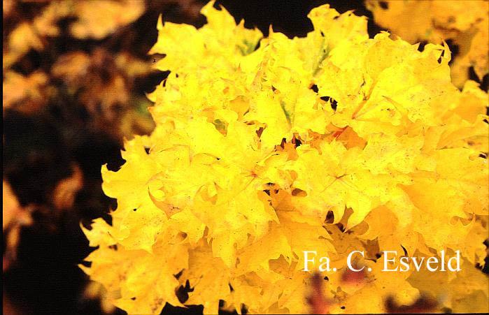 Acer platanoides 'Marit'