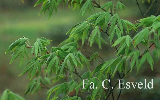 Acer pubipalmatum