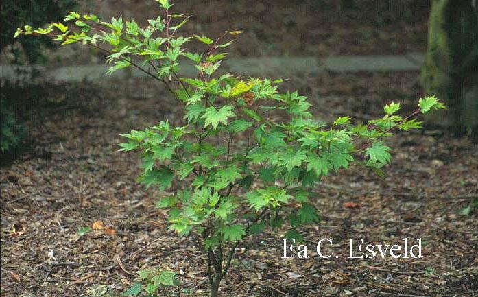 Acer sieboldianum 'Ogura-yama'