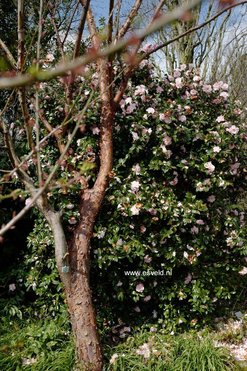 Camellia 'Barbara Clark'