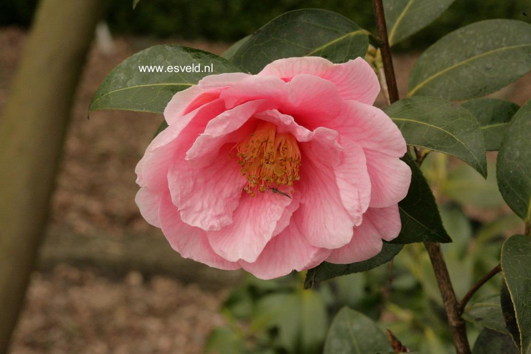 Camellia 'Ice Follies'