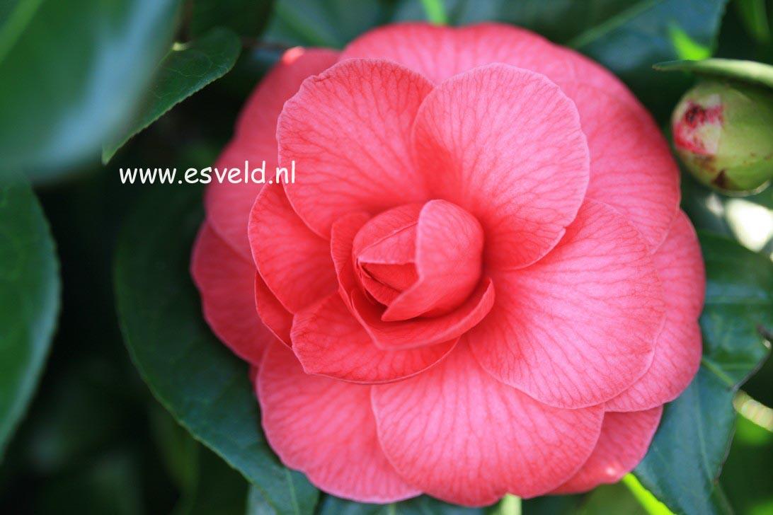 Camellia japonica 'Mathotiana'