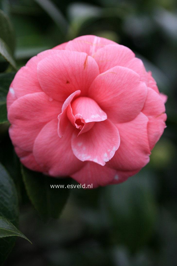 Camellia japonica 'Sacco Nova'