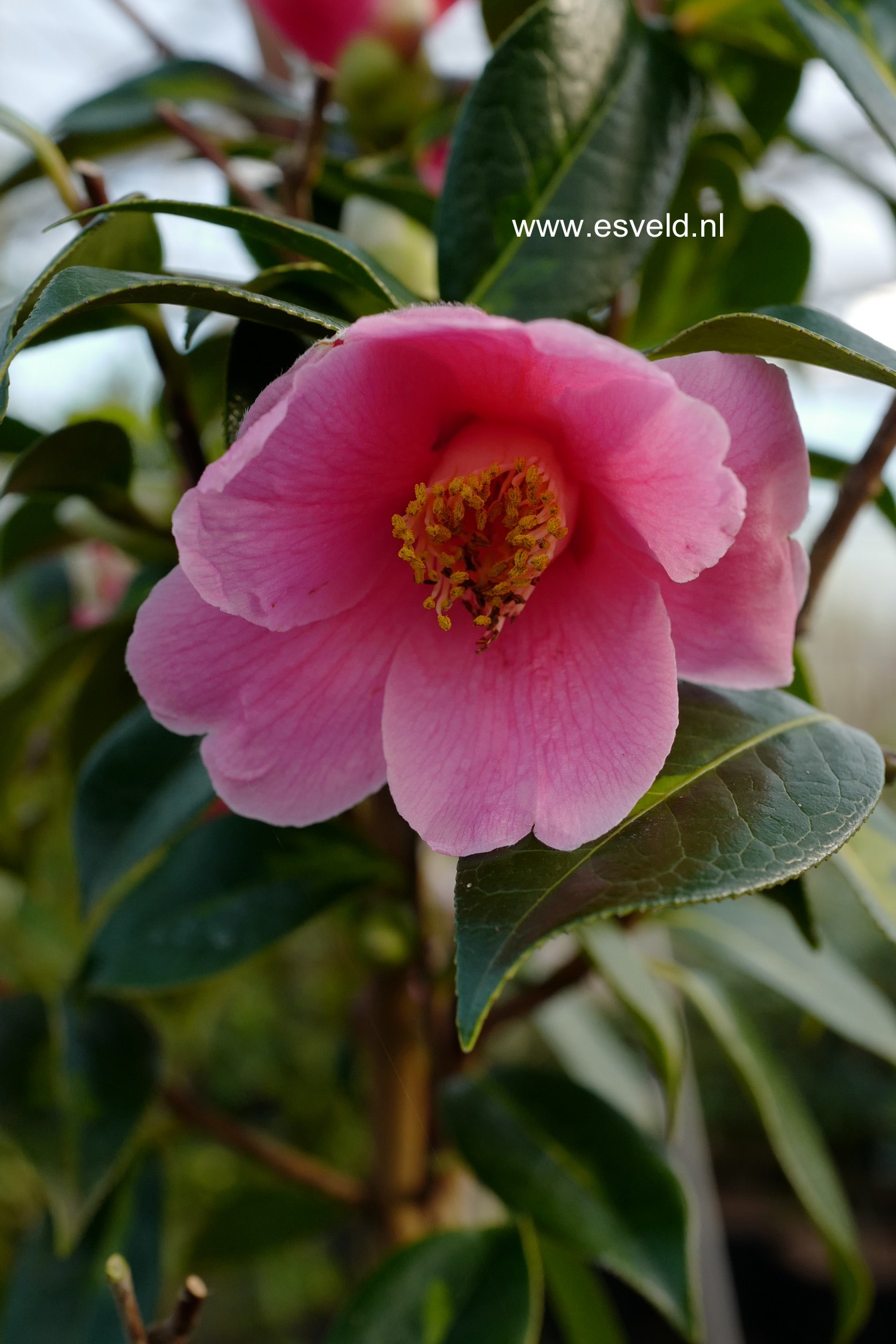 Camellia japonica 'Taiyo'