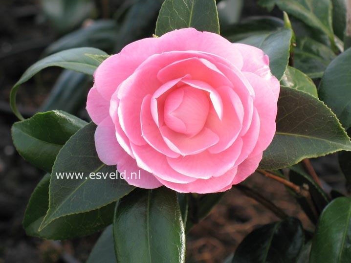 Camellia williamsii 'E.G. Waterhouse'
