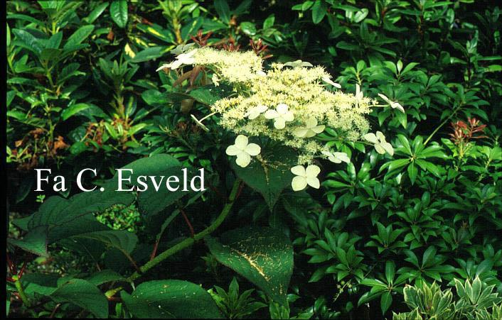 Hydrangea 'Nepal Beauty'
