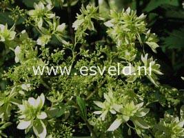 Hydrangea arborescens 'Hayes Starburst' (HOVARIA)