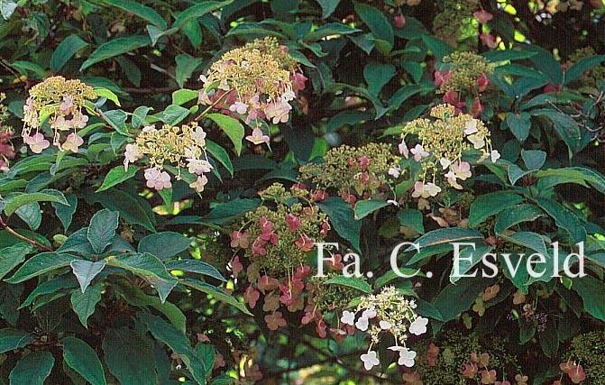 Hydrangea heteromalla 'Jermyn's Lace'