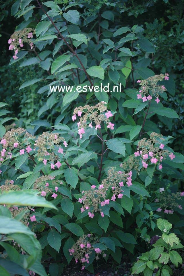 Hydrangea heteromalla 'Krista'