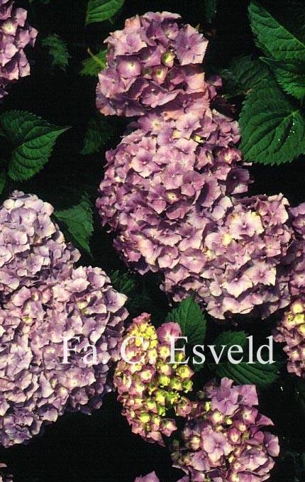 Hydrangea macrophylla 'Altona'