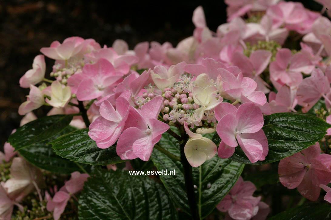 Hydrangea macrophylla 'Beijing'