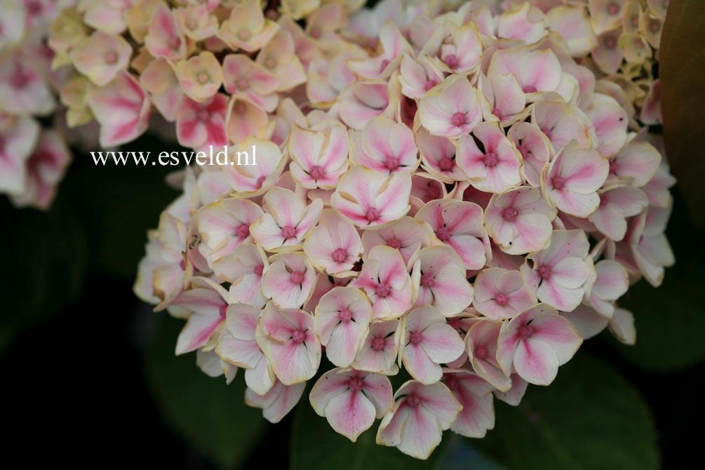 Hydrangea macrophylla 'Camilla'