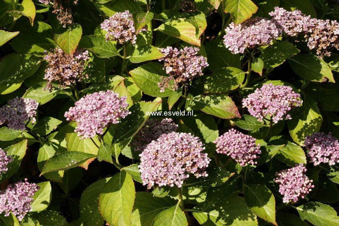Hydrangea macrophylla 'Concavosepala'