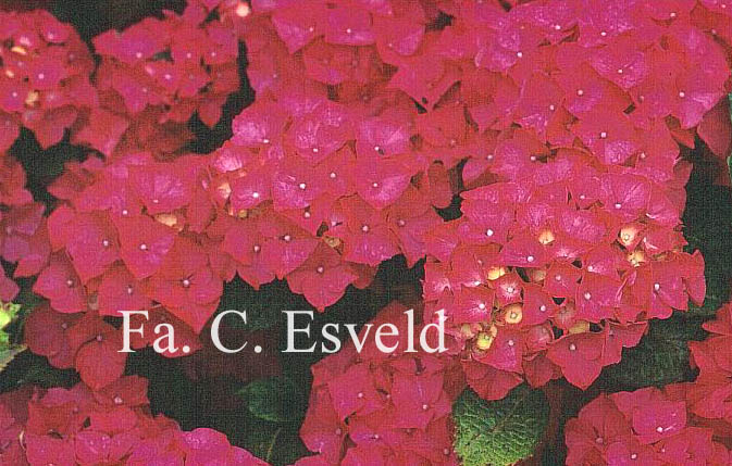Hydrangea macrophylla 'Draps Wonder'