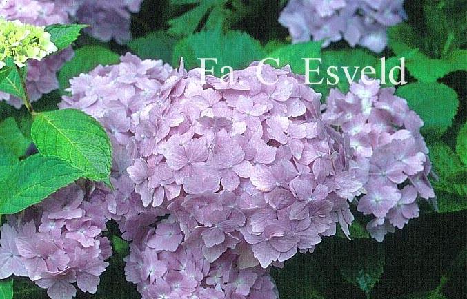 Hydrangea macrophylla 'Frillibeth'