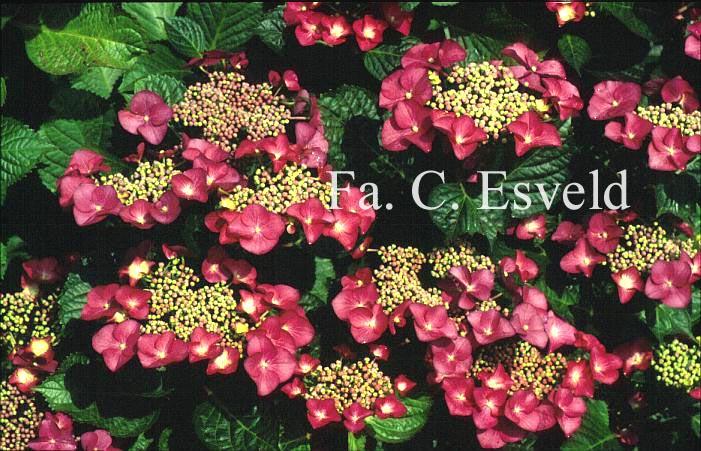 Hydrangea macrophylla 'Geoffrey Chadbund'