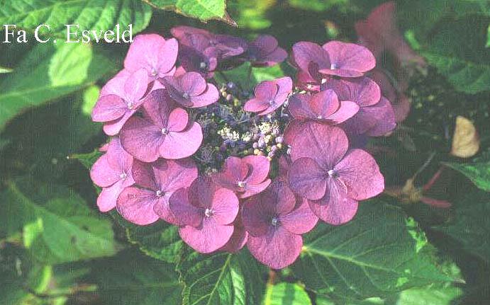 Hydrangea macrophylla 'Gimpel'