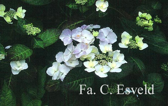 Hydrangea macrophylla 'Grant's Choice'