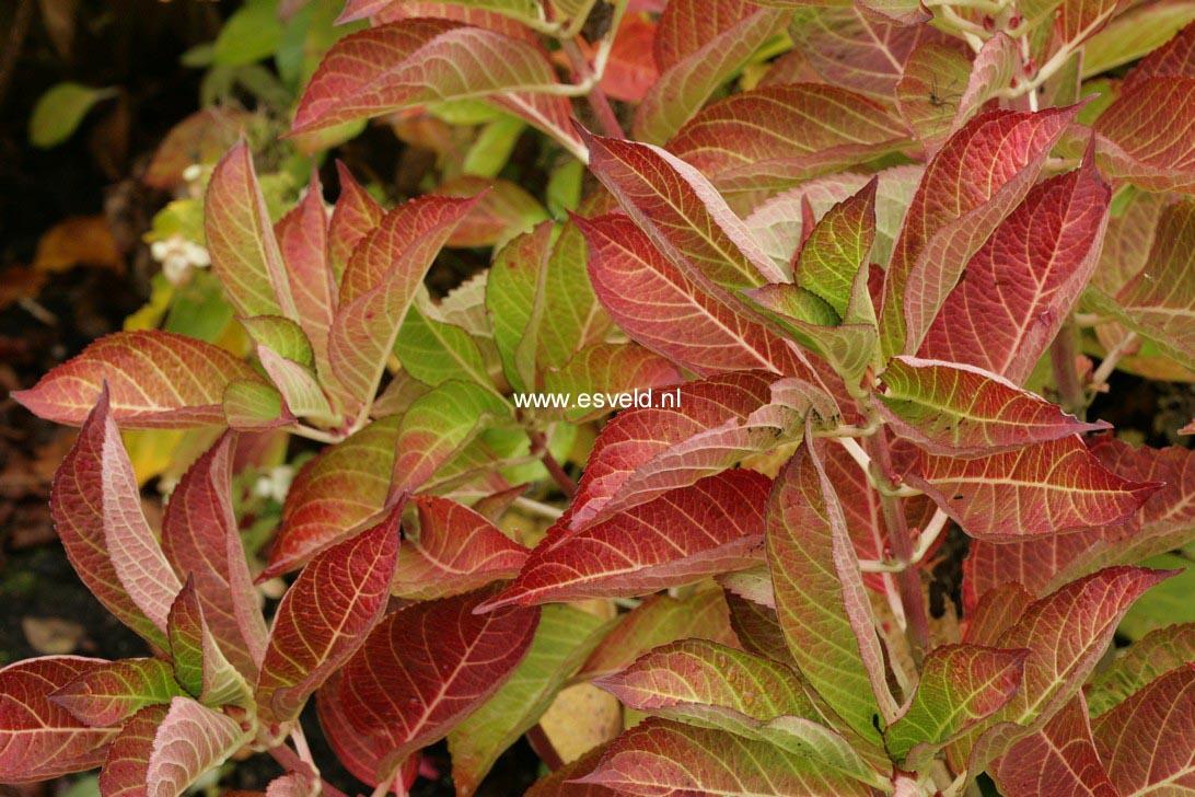 Hydrangea macrophylla 'HBACHAR' (CHARME)