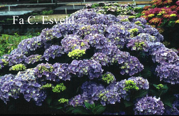 Hydrangea macrophylla 'Heinrichsburg'