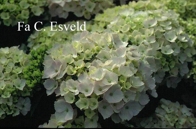 Hydrangea macrophylla 'Hopaline' (HOVARIA)