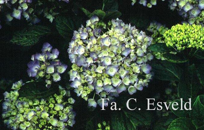 Hydrangea macrophylla 'Horben'