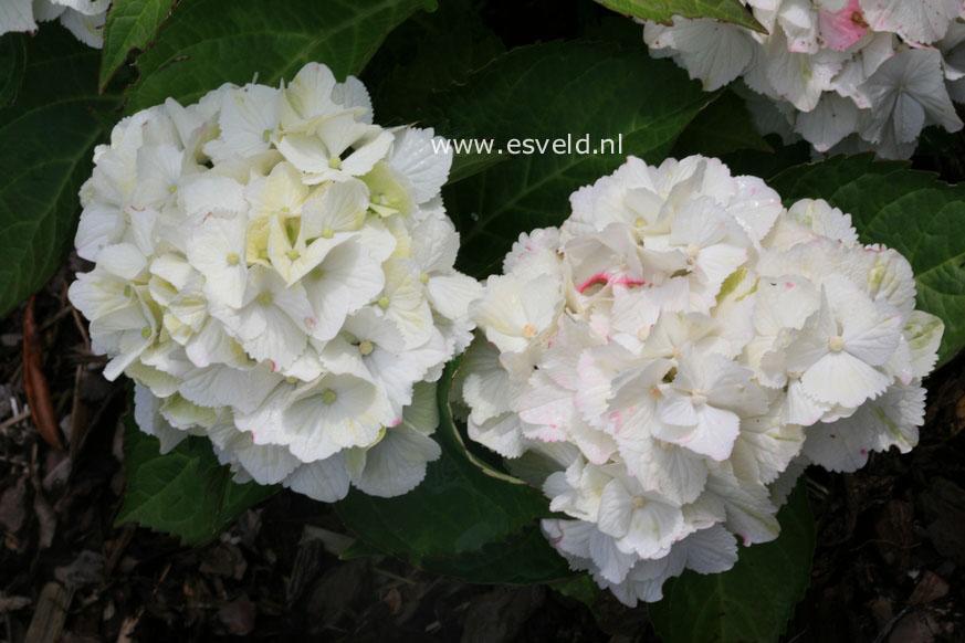 Hydrangea macrophylla 'Hortmawin' (MAGICAL WINGS)