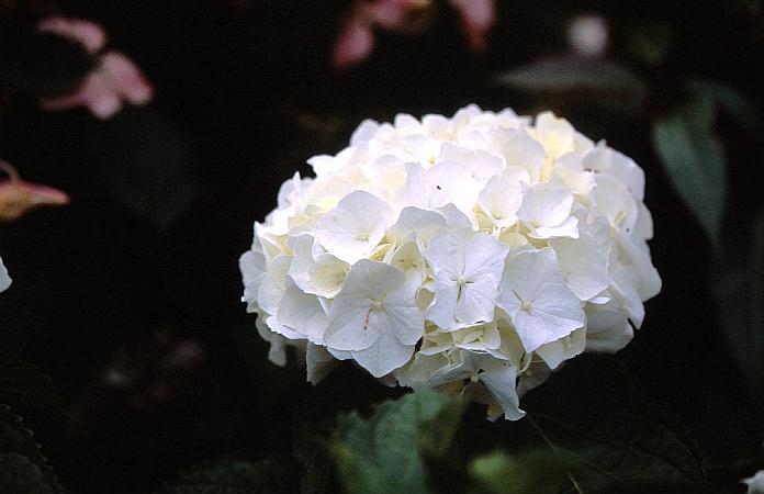 Hydrangea macrophylla 'Immaculata'