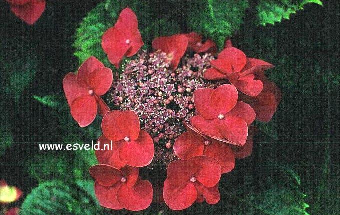 Hydrangea macrophylla 'Kardinal'