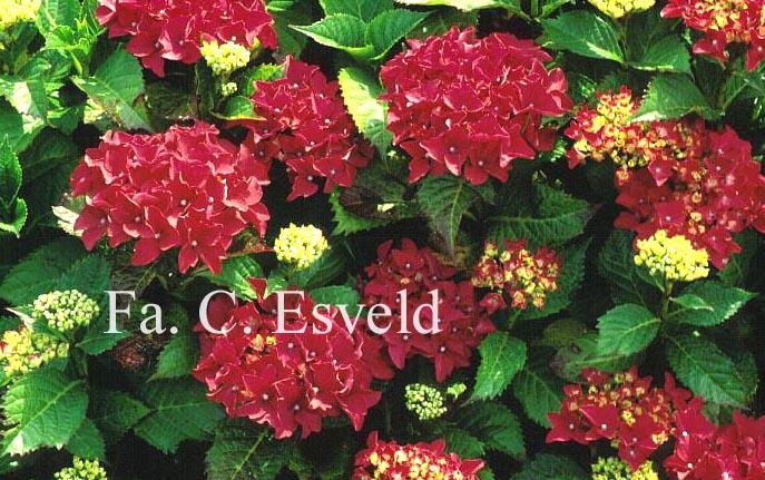Hydrangea macrophylla 'Koenigstein'