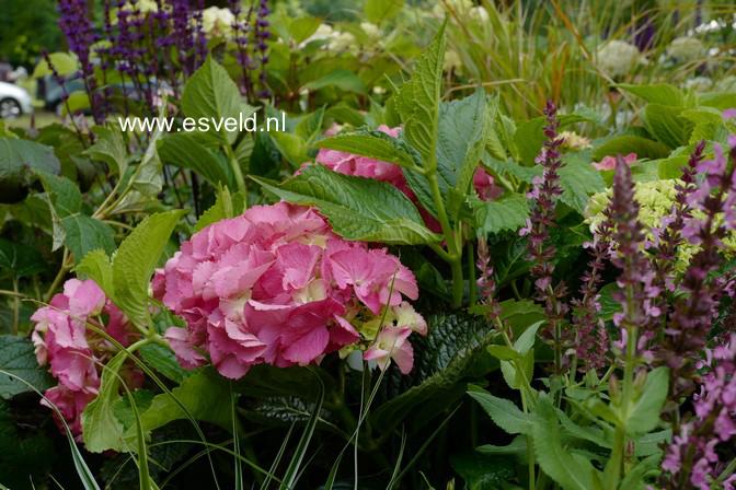 Hydrangea macrophylla 'Kolmgarip' (MAGICAL GARNET)