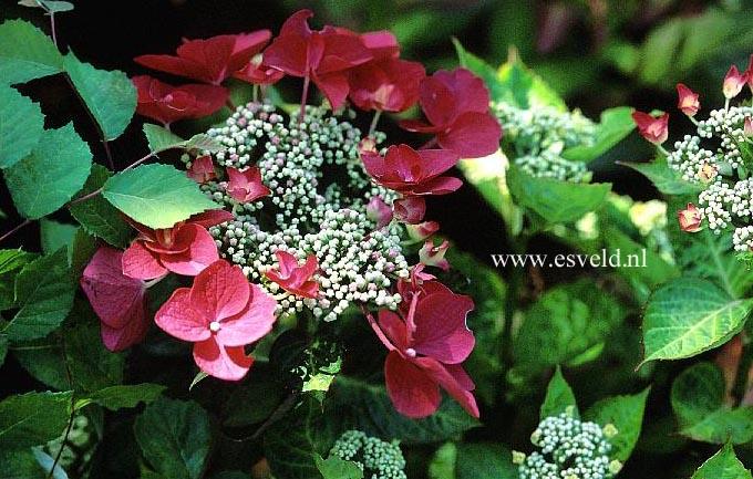 Hydrangea macrophylla 'Lady in Red'