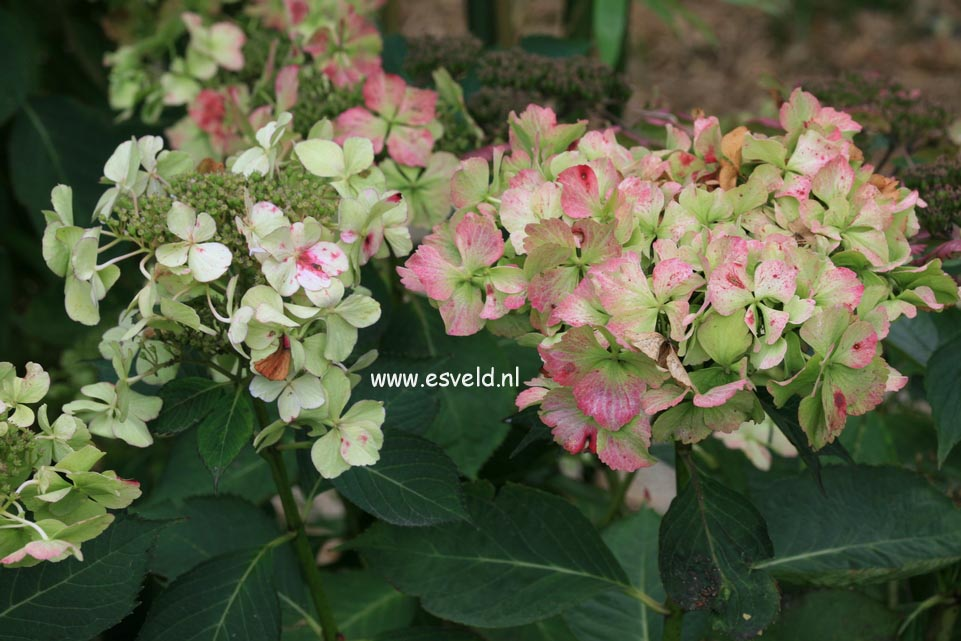 Hydrangea macrophylla 'Love You Kiss' (HOVARIA)