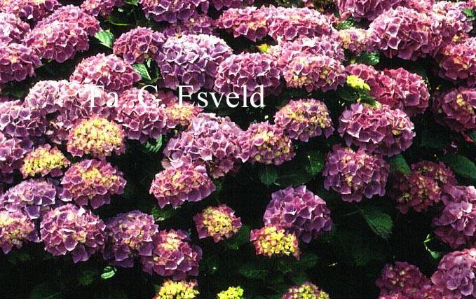 Hydrangea macrophylla 'Mascotte'
