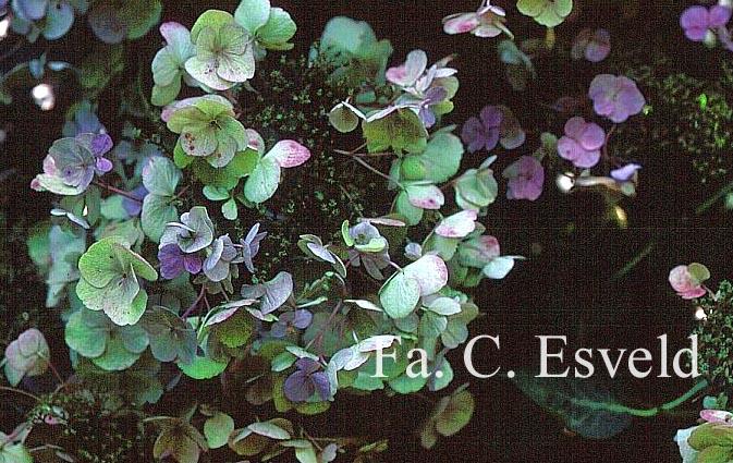 Hydrangea macrophylla 'Mousmee'