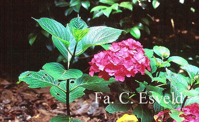 Hydrangea macrophylla 'Oregon Pride'