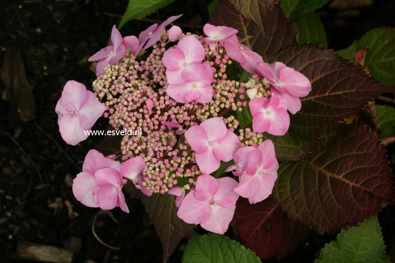 Hydrangea macrophylla 'Phiim' (TWIST-N-SHOUT)
